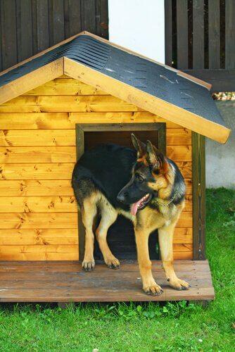 Un pastore tedesco davanti alla porta di una casetta in legno