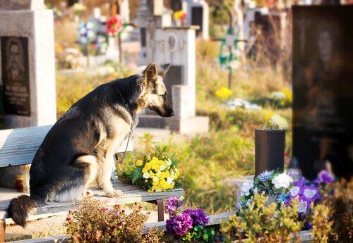 Pastore tedesco seduto su una tomba