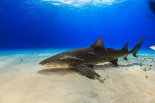 Curiosità sullo squalo limone