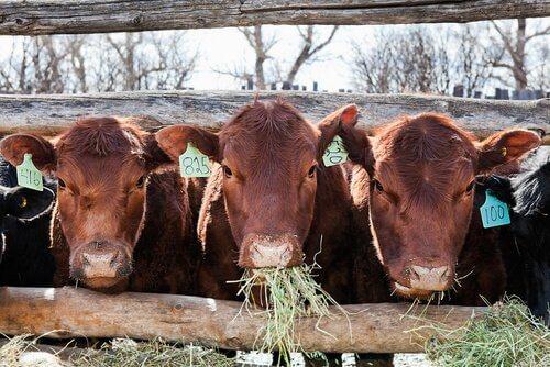 Vacche Murciano-Levantina