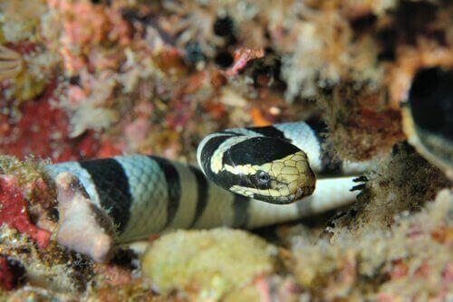 Il veleno del serpente marino
