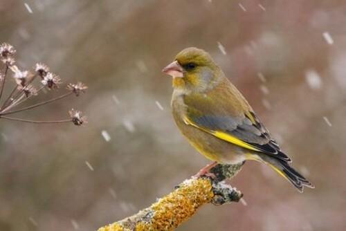 Verdone: caratteristiche, comportamento e habitat