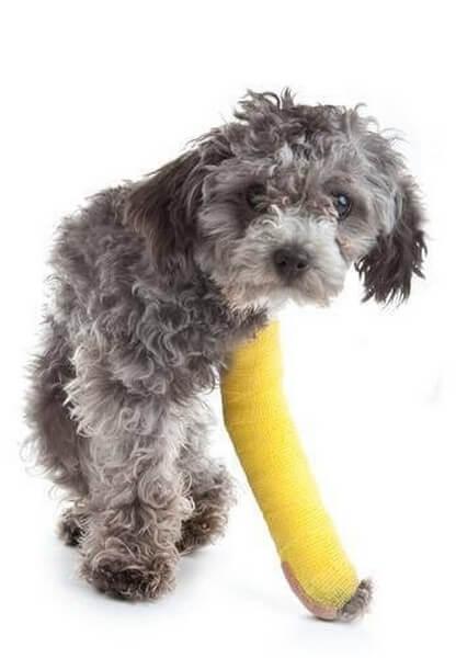 Cani di taglia piccola che presentano zoppia