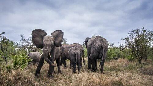 Elefanti aggressivi