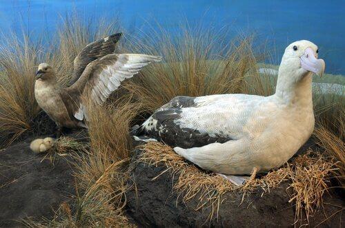Situazione attuale dell'albatros codacorta
