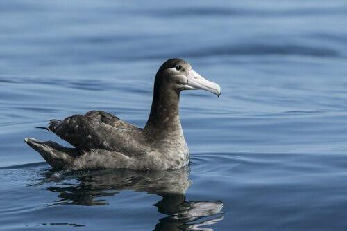 Albatros steller