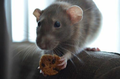 Alimentazione topo domestico