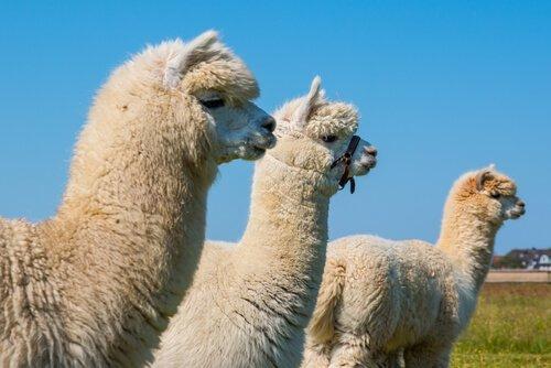 Alpaca tra camelidi sudamericani