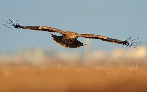 Aquila imperiale vola