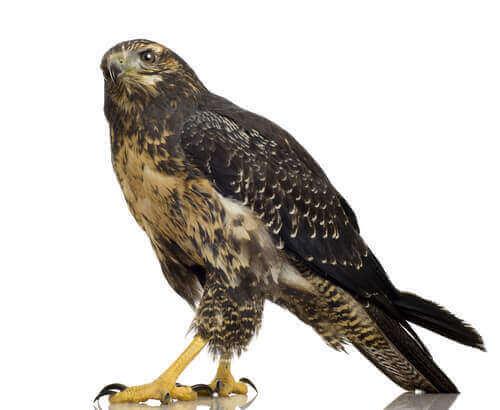 Aquila poiana pettonero