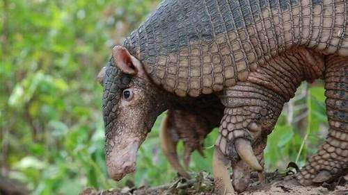 Habitat armadillo gigante