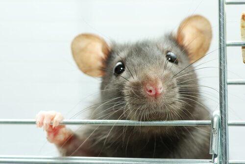 Arricchimento ambientale per i topi