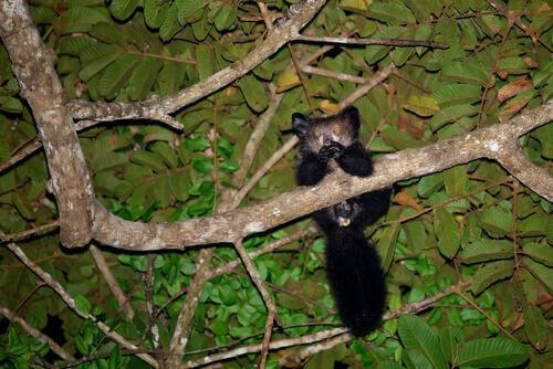 Aye-aye su albero