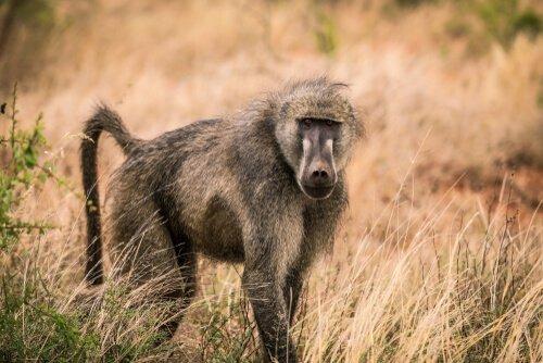 La storia dei babbuini pacifici