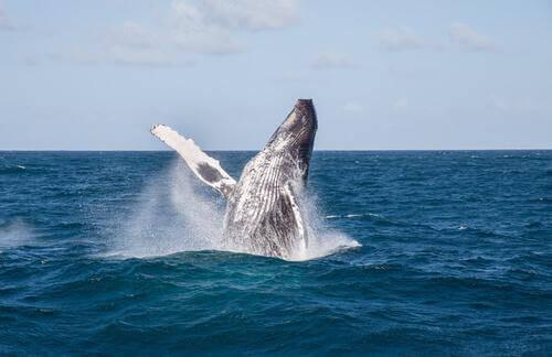 Balena salta in acqua