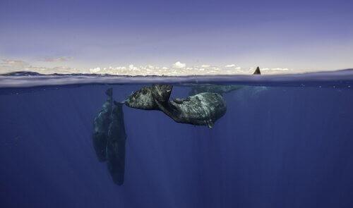 Balene musica