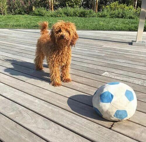 Barboncino con palla