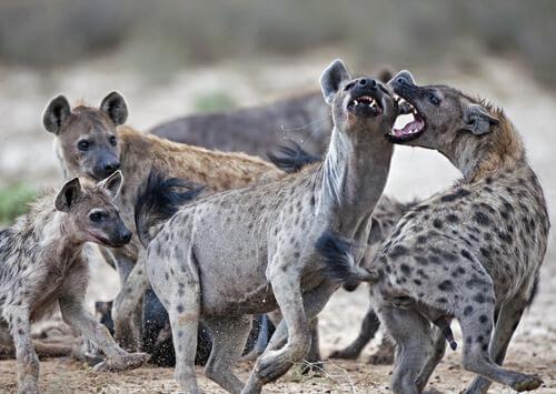Lo pseudo-pene della iena macchiata.