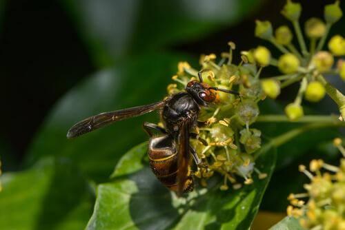 Il calabrone asiatico su fiore