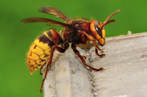 Calabrone tra specie di vespe