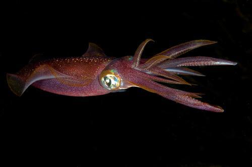 Calamaro in acqua