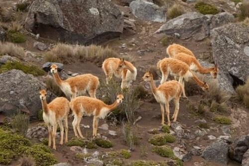 Conosciamo insieme i camelidi sudamericani