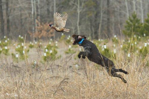 cane che salta per afferrare preda