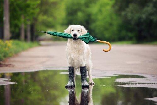 Cane con ombrello e stivali