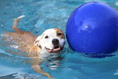 cane in piscina con palla