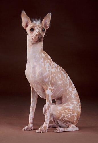 Razza cane peruviano