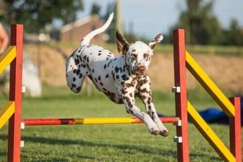 Migliorate l'agilità del vostro cane con questi esercizi