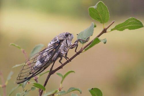 Scoprite il curioso canto della cicala