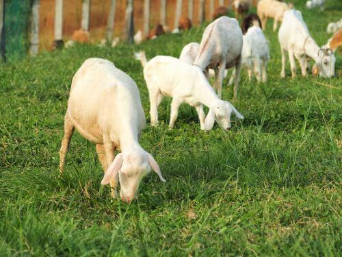 Capre che mangiano erba