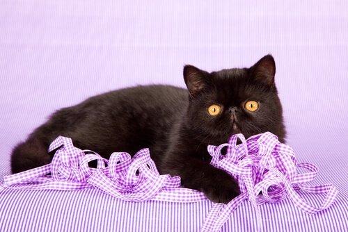 Caratteristiche del gatto esotico