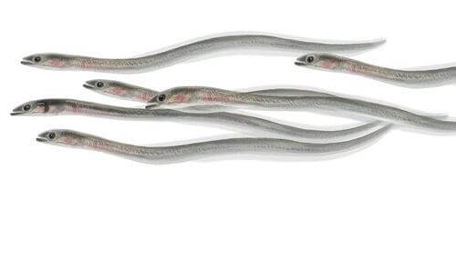 Caratteristiche degli avannotti e delle anguille