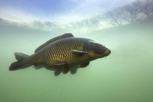 La carpa: un pesce d'acqua dolce