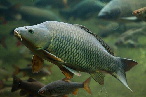 Tassonomia della carpa