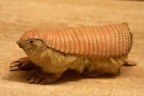 Il clamidoforo troncato: tutto su questa specie animale