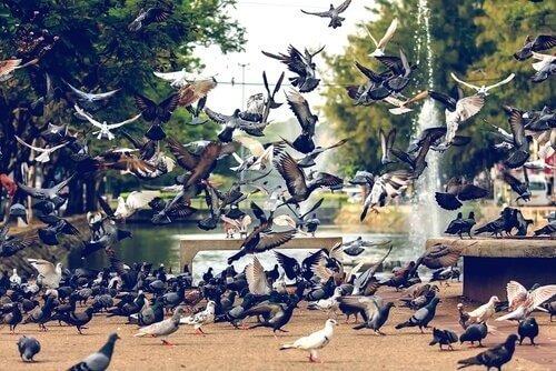 Le malattie trasmesse dai piccioni