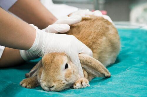 Coniglio che viene visitato