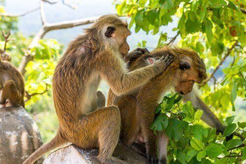 Coppia di scimmie