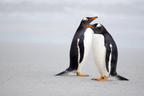 Pratiche di corteggiamento animale dei pinguini