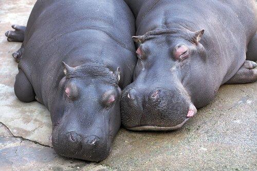 Corteggiamento dell'ippopotamo