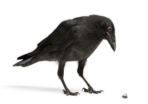 corvi attrezzi