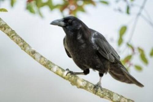 Secondo recenti scoperte, l'intelligenza dei corvi è straordinaria