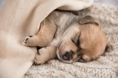 Cucciolo che dorme sotto la coperta