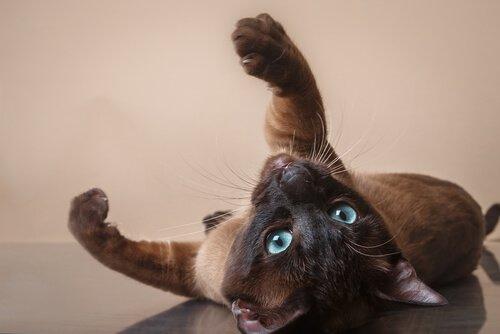 Cure del gatto tonkinese