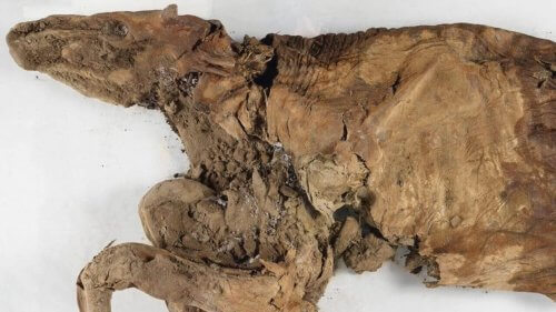 Esemplare di renna mummificata