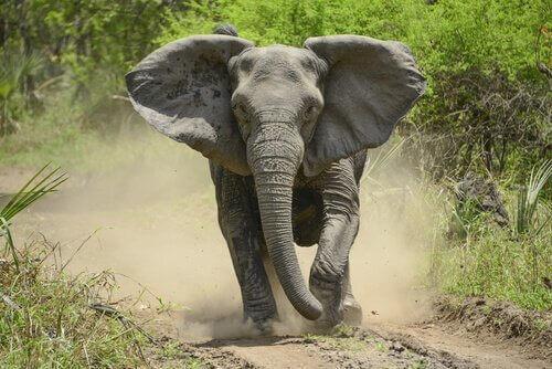 Elefante corre
