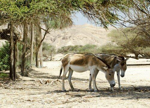 Equini asiatici